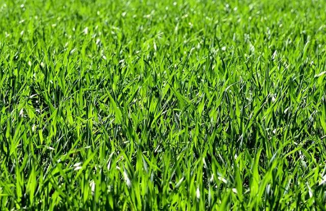 manchas de hierba
